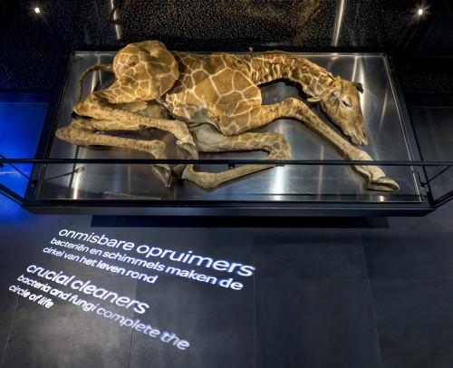 Dood giraffeveulen in Micropia:  Foto: Micropia, Thijs Wolzak.